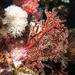 červený koral
