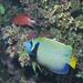 Emperor Angelfish(Pomacanthus im