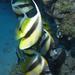 Pennantfish