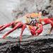 Sally Lightfoot Crab(Grabsus gra