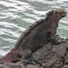 Leguán morský