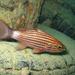 Largetooth Cardinalfish