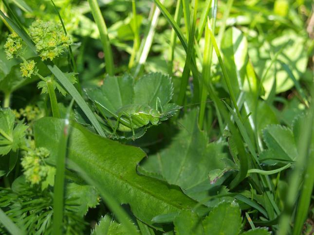 Lúčny koník v zelenom poraste