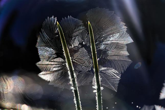 a rozkvitla borovica