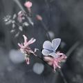 ružové sny modráčika