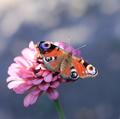zo zbierky motýľov