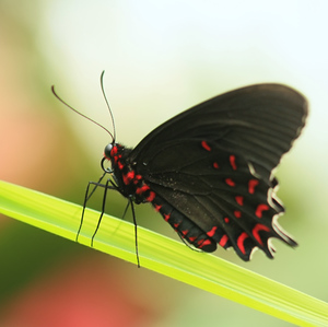 z motýlej show