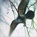 holubí sen