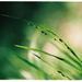 Melica uniflora ... dobré ráno