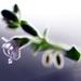 Rozmarín - kvet lásky