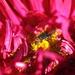 Červenokvetá mucha