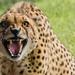 gepard- zoo Praha