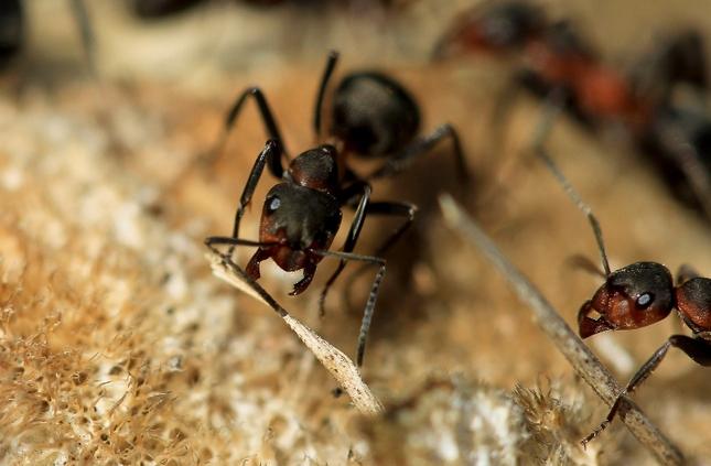 lesné mravce