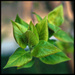 Zelene listky