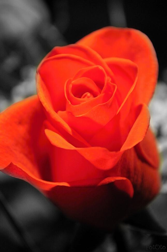 iba ruža