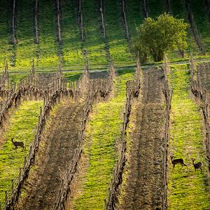 Srnky ve vinohradu