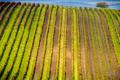 Podzimní vinohrad