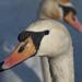 jazero labutí 03