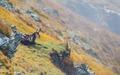 Kamzík v Západných Tatrách