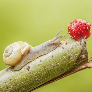 snails and strawberry