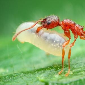 Mravčie bremeno