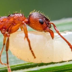Mravec s larvou