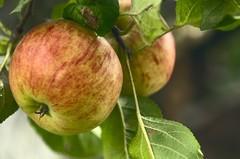 jablčká