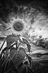 Slnko v poli II.