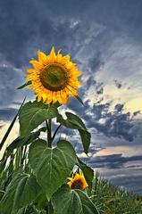 Slnko v poli