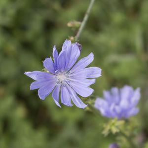 fialová krása