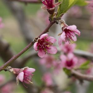 kvitnúca krása