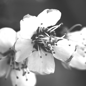 rozkvitnutá marhuľka
