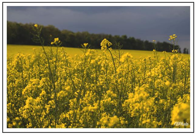 žltá repková