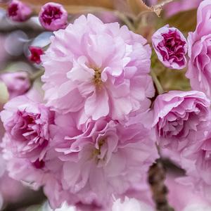 kvet sakury