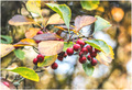 jesenný hloh obyčajný