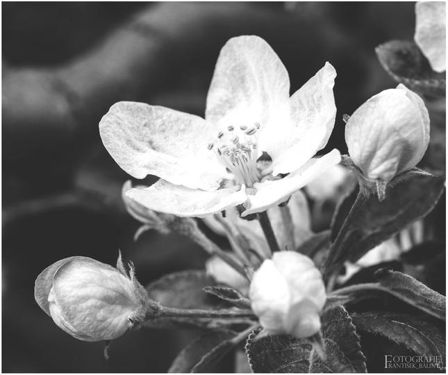 jarné jabĺčko