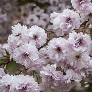 ružová nádhera