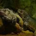 Leguany