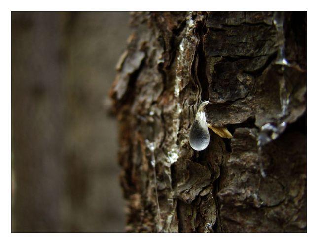 Keď strom plače