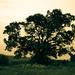 Starý dub vo vetre času