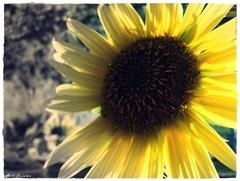 Jesenná slnečnica