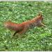 veverička na úteku