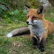Skrotená líška