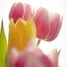 tulipany 5