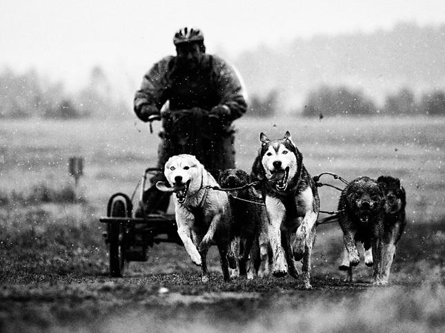 Psie zaprahy SNV 2012
