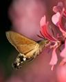 neposedný motýľ