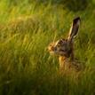 Pozorný zajko