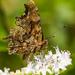 Babôčka zubatokrídla (Polygonia
