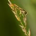 Pestrica pruhovaná (Episyrphus b