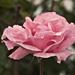 ruža po daždi